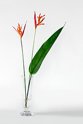 Heliconia, Golden Torch#1