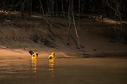Troupial (Icterus icterus)<br /> Northern Pantanal<br /> Mato Grosso<br /> Brazil