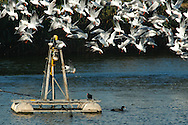 Black-headed Gull in a frenzy, while the fish feeder is feeding. at Maagan Michael fish ponds.