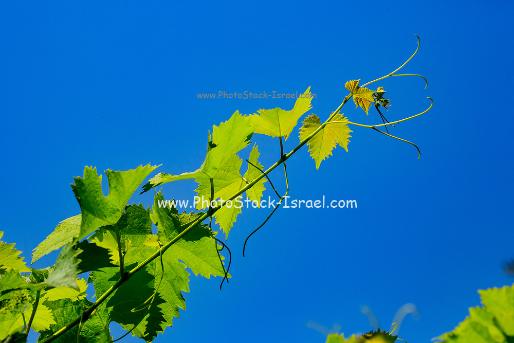 Close up of the young fresh vine leaves in a vineyard. with a blue sky background
