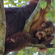 Orang-utan (Pongo pygmaeus) small baby staying close to mom but testing its independence. Tanjung Puting National Park. Borneo