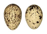 Stone Curlew - Burrhinus oedicnemus