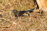 Groove-billed Ani  (Crotophaga sulcirostris) follows a cow to feed on insects disturbed as it eats along the shore of Lake Chapala - Ajijic, Jalisco, Mexico