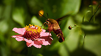 Clearwing Hummingbird Moth Feeding on a Pink Zinnia Flower. Image taken with a Nikon 1 V3 camera and 70-300 mm VR lens