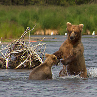 USA, Alaska, Katmai. Grizzly cub and mother in river.