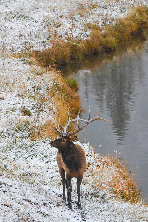 A bull elk (Cervus canadensis) stands along the Madison River in Yellowstone National Park, Wyoming.