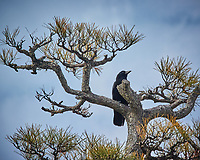 Raven or large Crow in Miyajima Island, Japan.Image taken with a Nikon 1 V3 camera and 70-300 mm VR lens (ISO 200, 186 mm, f/5.6, 1/2000 sec).