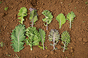 Various kale leaf phenotypes within the same population