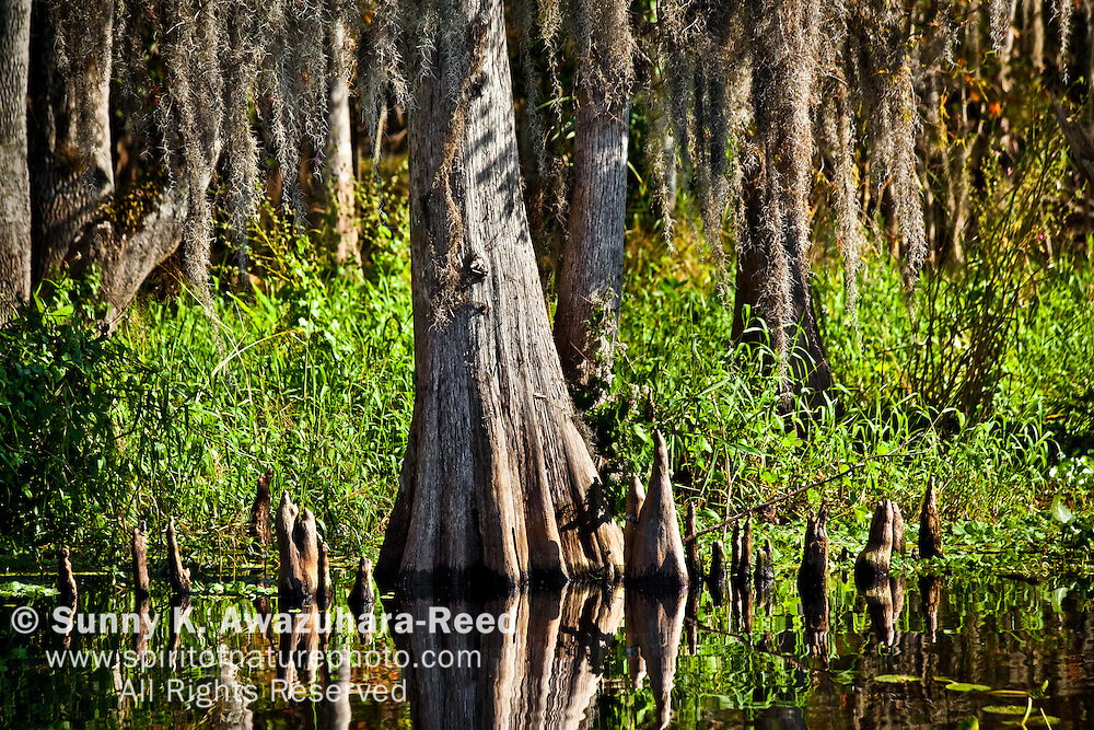 Cypress trees growing in St. Johns River, Blue Spring State Park, Florida.