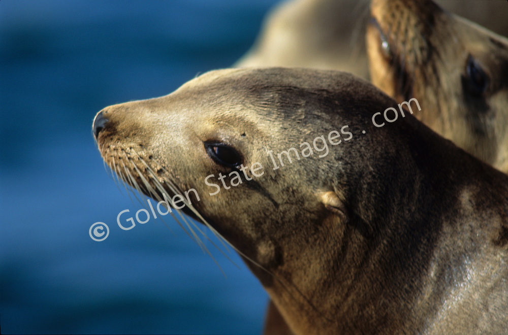 Intelligent and easily trained sea lions are often used in shows by marine parks and zoos. They are even used by the military.    <br /> <br /> Common eared seal. Coat is light tan when dry dark brown to black when wet.    <br /> <br /> Inquisitive by nature Sea Lions can easily become entangled in monofilament driftnets and often drown or end up with tangled portions around their necks. If this happens to a juvenile the line will slice into the neck as the animal matures.   <br /> <br /> Range: Vancouver to Baja California<br />   <br /> Species: Zalophus californianus