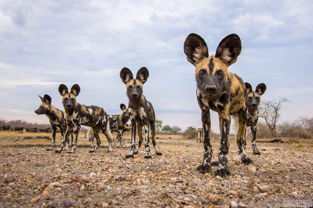 I had spent many weeks in South Luangwa National Park, trying to track down this elusive pack of African wild dogs. I wanted to capture a shot that portrayed the innocence and inquisitiveness of these wonderful creatures. Eventually my perseverance was rewarded when I found them at the end of the dry season. As the pack started to move off, I positioned myself in front of them and deployed a remote wide-angle camera in their path. As they approached, the curiosity of the youngsters was aroused and they approached to investigate the clicking camera, ears focused in on it like satellite dishes. It wasn't long before they lost interest and continued on their way, and I was left with the shot I had dreamt of.
