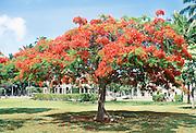 Royal Poinciana Tree, Honolulu, Oahu, Hawaii