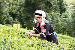 August 6, 2017 - China - Guizhou, CHINA-August 6 2017: (EDITORIAL USE ONLY. CHINA OUT) A tea leaves picking contest is held at Jiangxipo Town in Pu'an, southwest China's Guizhou Province, August 6th, 2017. (Credit Image: © SIPA Asia via ZUMA Wire)