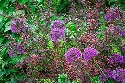 Allium hollandicum 'Purple Sensation' with dark leaved berberis