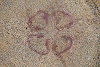 Medusa en bancos de arena de Luskentyre. Jellyfish on Luskentyre Banks. South Harris Island. Outer Hebrides. Scotland, UK