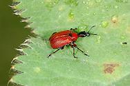 Hazel Leaf-roller - Apoderus coryli