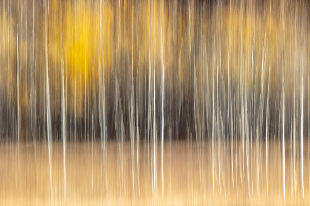 Licencing - Open Edition Prints<br /> Delicate Autumn Aspen Trees near Durrance Peak in Central Idaho near Ketchum.