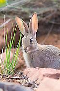 Rabbits, Hares and Pikas (Lagomorphs)
