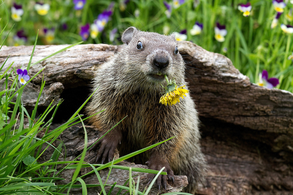 """Cute groundhog baby sitting in front of colorful flowers munching on a dandelion.<br /> <br /> Available sizes:<br /> 18"""" x 12"""" print <br /> 18"""" x 12"""" canvas gallery wrap <br /> 24"""" x 16"""" print<br /> See Pricing page for more information."""