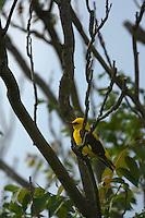 Golden oriole male (Oriolus oriolus), Pirol Maennchen, Nature Park Persina, Stadt Nikopol, Bulgaria.