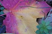 Autumn colours, maple leaf