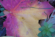 Autumn colours, maple leaf<br /> *ADD TO CART FOR LICENSING OPTIONS*