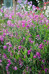 Lathyrus latifolius AGM. Everlasting Pea, Perennial Peavine