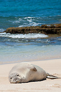 Hawaiian monk seal, Monachus schauinslandi, juvenile with scars on chest from recent shark attack, Critically Endangered endemic species, resting on beach at west end of Molokai, Hawaii ( Central Pacific Ocean )