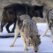 Gray Wolf, (Canis lupus) Hunting along bank of river. Rocky mountains. Montana.  Captive Animal.