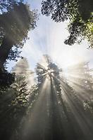 Sun rays cutting through fog in a Coastal Redwoods (Sequoia sempervirens) forest, Lady Bird Johnson Grove, Redwoods National Park, California
