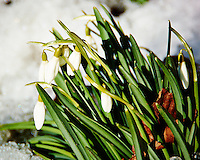 Snow Drop Flowers in the Snow Waiting for Spring. Image taken with a Nikon 1 V2, FT1 adapter, and 28-300 VR lens (ISO 160, 250 mm, f/5.6, 1/500 sec)