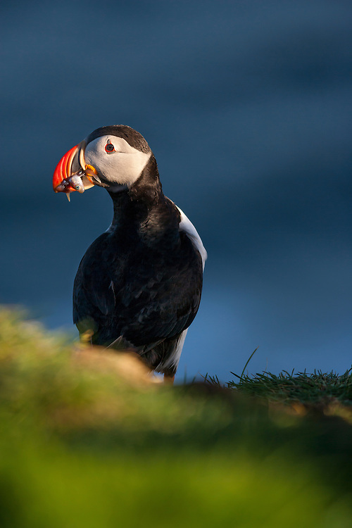 Puppin with a beak full of fish on Cape Ingolfshofdi, Iceland