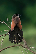 A white browed coucal, Centropus superciliosus.