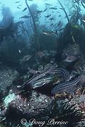 pyjama sharks, striped catshark, or pyjama catshark, Poroderma africanum, in forest of bull kelp, Ecklonia maxima, Pyramid Rock, Miller's Point, False Bay, Cape of Good Hope, South Africa