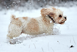 © Licensed to London News Pictures. 24/01/2021. Wendover, UK.  Brodie, a seven year old Cavachon cross, plays in the snow on Coombe Hill as heavy snow falls in the Chilterns. The Met office has issued a yellow warning for snow covering most of the south of England until 23:59 tonight.   Photo credit: Cliff Hide/LNP