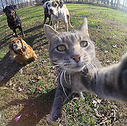 Cat 'selfie' featuring a dexterous grey tabby and three dogs lurking in the background goes viral - but leaves the web baffled <br /> <br /> A photo that appears to be a selfie taken by a cat is sweeping the internet as users find themselves fascinated by the unusual shot. <br /> The photo has gone viral with more than one million likes on Instagram in a couple of days, and thousands of shares.<br /> The bizarre snap shows the grey and white tabby perching on a tree stump as it appears to reach out to take the self-portrait safely out of reach of three dogs - including two rottweilers - poised behind it in a field.<br /> <br /> The unusual snap has now been reposted numerous times on Instagram, where it has garnered well over one million likes and 21,000 comments in one post alone, as well as on Facebook where thousands of people have also viewed the comical shot. <br /> But no one knows on the picture was taken and whether there is someone behind the camera, or whether a camera was positioned somewhere within the cat's reach.<br /> ©Exclusivepix Media