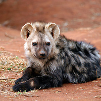 Africa, South Africa, Madikwe. Young Spotted Hyena waits near den for mother to return with food.