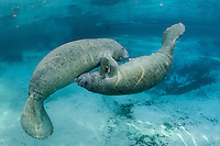 Florida manatee, Trichechus manatus latirostris, a subspecies of the West Indian manatee, endangered. Two male manatee calves engage in intimate play by a warm blue springhead. More manatee rest in the background. One of a series of calf intimate play or cavorting play behaviors. Horizontal orientation with rainbow sun rays and blue water. Three Sisters Springs, Crystal River National Wildlife Refuge, Kings Bay, Crystal River, Citrus County, Florida USA.