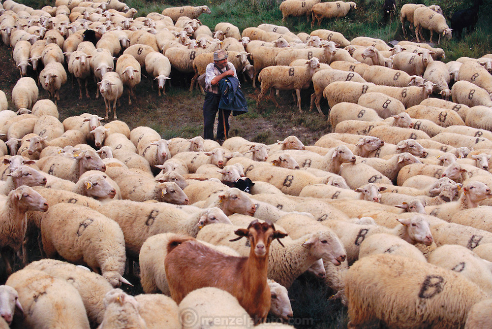 Pablo Rodriguez, Shepard, surrounded by his flock in Gallipienzo, Navarra, Spain.