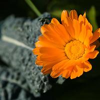 Orange calendulas with Cavollo Nero kale (Brassica oleracea 'Nero Di Toscana')