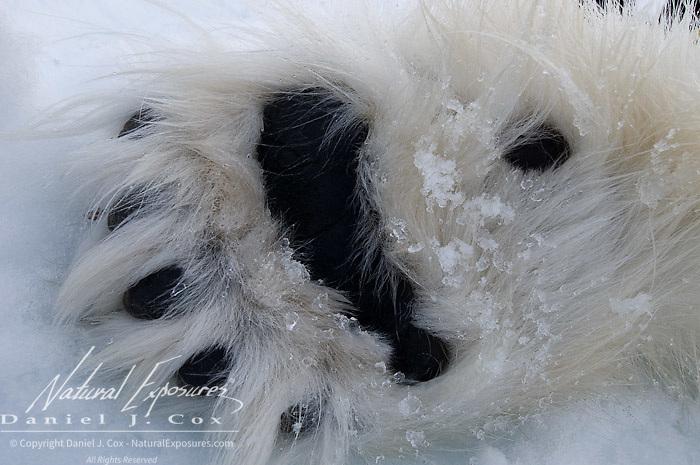 Polar Bear (Ursus maritimus) the paws of a tranquilized bear. Beaufort Sea, Alaska.