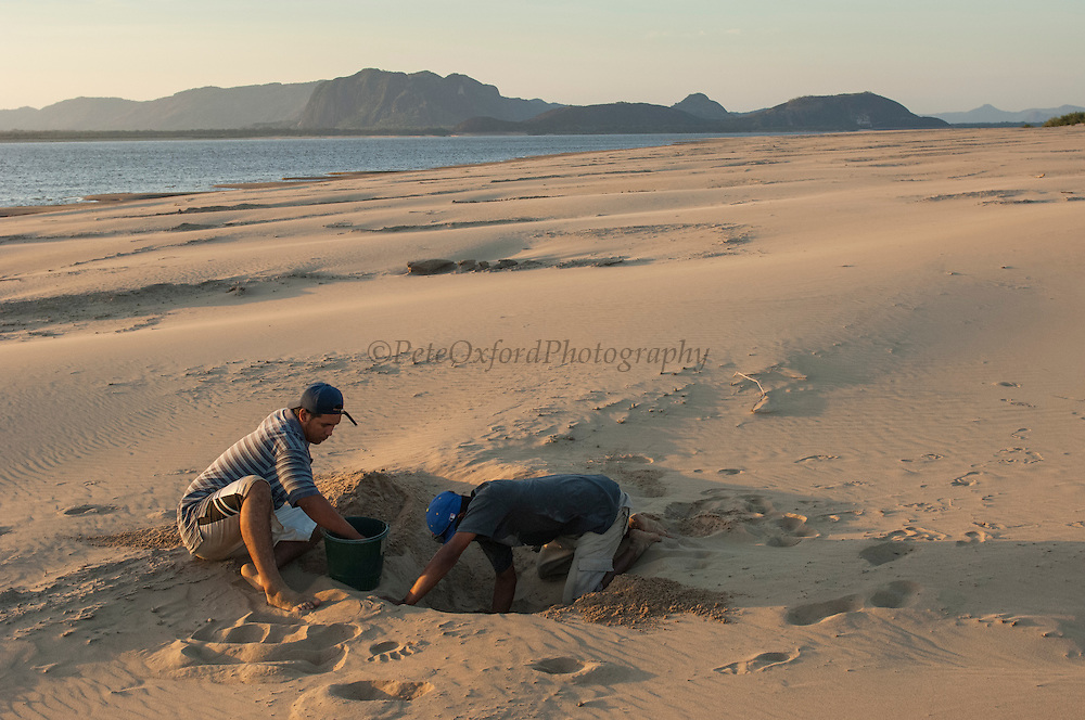Giant River Turtle (Podocnemis expansa) nests being dug up for relocation to safer, higher ground.<br />  CAPTIVE-REARING PROGRAM FOR REINTRODUCTION TO THE WILD<br /> CITES II      IUCN ENDANGERED (EN)<br /> Playita Beach, (mid) Orinoco River, 110 Km north of Puerto Ayacucho. Apure Province, VENEZUELA. South America. <br /> <br /> During egg laying season staff sleep on the nesting beaches to monitor the nests.  All nests layed on low lying ground are relocated to an area not likely to flood. They are then surrounded by a net to catch all hatchlings who will then spend the first year of their life in captivity to increase their chances of survival.