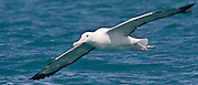 53.5cm x 23cm print of a Southern Royal Albatross gliding a metre above the ocean's surface, New Zealand.