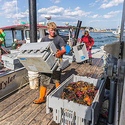 Dock workers Carl Pottle and Carrie Trunk process lobster on the wharf a Great Wass Lobster in Beals, Maine.