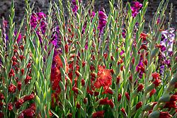 Gladiolus 'Bimbo' in the Parham House Gladiolus trial