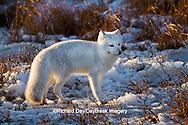 01863-01301 Arctic Fox (Alopex lagopus) in snow in winter, Churchill Wildlife Management Area, Churchill, MB Canada