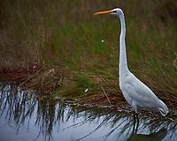 Great Egret. Black Point Wildlife Drive, Merritt Island National Wildlife Refuge. Image taken with a Nikon D4 camera and 300mm f/2.8 VR lens (ISO 100, 300 mm, f/4, 1/1000 sec).