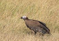Lappet-faced Vulture, Torgos tracheliotus, in Maasai Mara National Reserve, Kenya
