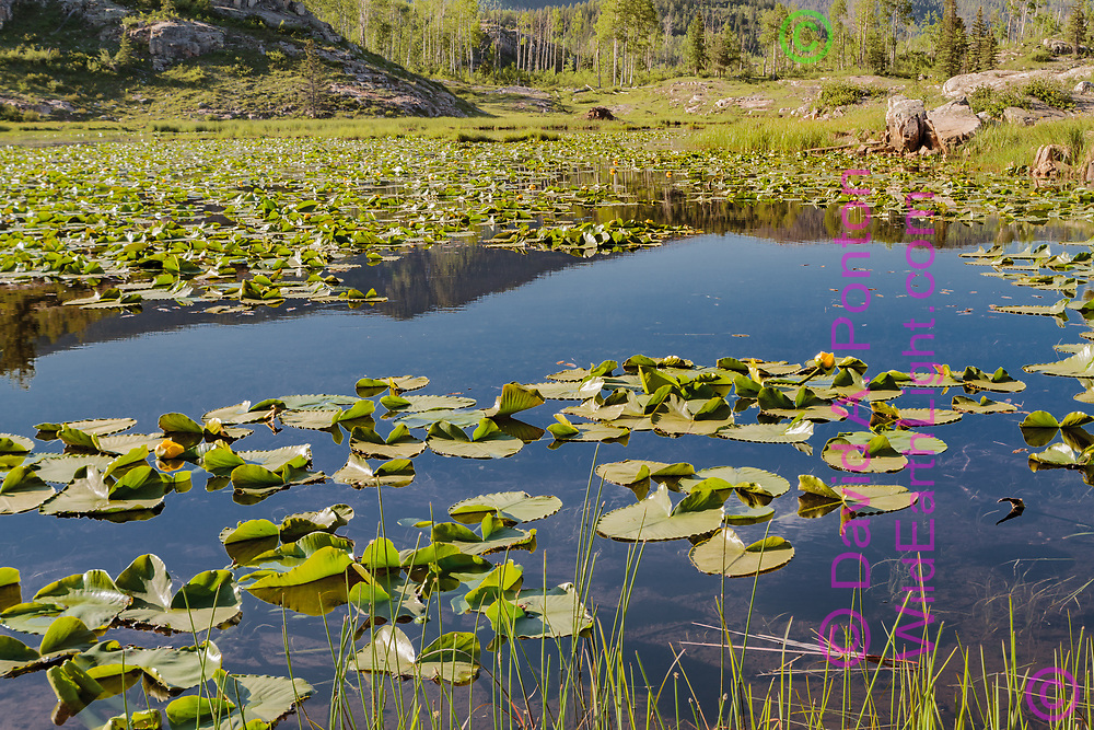 Pond with lilly pads reflects sky and mountains, San Juan Mountains, Colorado, © David A. Ponton