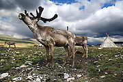 Stunning images reindeer herders of Mongolia<br /> <br /> Tsaatan people are reindeer herders and live in northern Khövsgöl Aimag of Mongolia. Originally from across the border in what is now Tuva Republic of Russia,the Tsaatan are one of the last groups of nomadic reindeer herders in the world. They survived for thousands of years inhabiting the remotest Ulaan taïga, moving between 5 and 10 times a year. <br /> The reindeer and the Tsaatan people are dependent on one another. Some Tsaatan say that if the reindeer disappear, so too will their culture. The Tsaatan depend on the reindeer for almost, if not all, of their basic needs:  their reindeers provide them with milk, cheese, meat, and transportation. They sew their clothes with reindeer hair, reindeer dung fuels their stoves and antlers are used to make tools. They do not use their animals for meat. This makes their group unique among reindeer-herding communities. As the reindeer populations shrink, only about 40 families continue the tradition today. Their existence is threatened by the dwindling number of their domesticated reindeer. Many have swapped their nomadic life for urban areas. <br /> <br /> For thousands of years, the Tsaatan, or Dukha people have lived with their reindeer on the remote steppes of central Asia. Originally from further west, in 1944 the Tsaatan fled from the Russian region now known as the Republic of Tuva. Many families were afraid of losing their herds due to the Soviet government's practice of requisitioning domestic animals during World War II, and the region was also suffering from food shortages and diseases, for which they had little resistance. Now living near Tsagaan Nuur Lake in northern Khövsgöl in Mongolia, the Tsaatan were eventually granted Mongolian citizenship in 1956, after a number of attempts at deportation. One of the last groups of nomadic reindeer herders in the world, the Tsaatan people will usually move their homes and their herds between five and ten times each year. <br /> ©Pascal MANNA